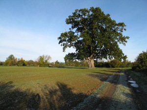 The Eardisland Oak